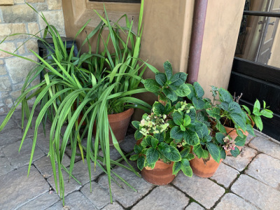 Pottted Cymbideum Orchids