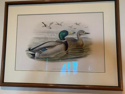 Gould Ducks (close)